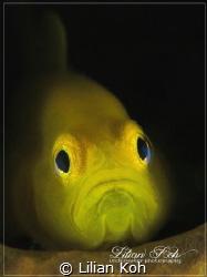 M E L A N C H O L Y Lemon Goby by Lilian Koh