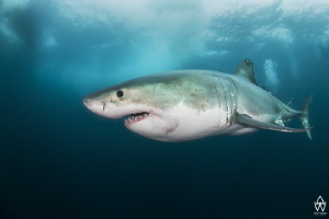 """""""Great White"""" On the 22.08.2015 my life changed forever ... by Allen Walker"""
