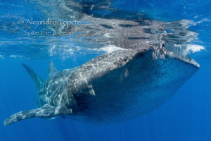 Whale Shark Hungry, Isla Contoy México by Alejandro Topete