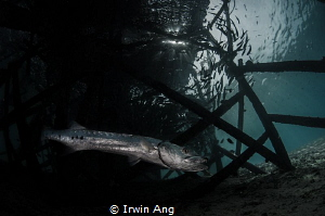 R E S I D E N T Great barracuda (Sphyraena barracuda) M... by Irwin Ang