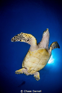 """""""Dancing Turtle"""" The Hawksbill literally swam up and sto... by Chase Darnell"""
