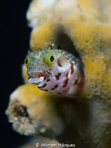 Smiling Blenny by Abimael Márquez