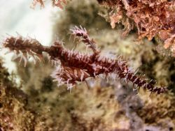 This Ornate Ghost Pipefish was literally at the base of o... by Steve Wurfel