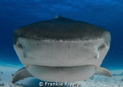 Tiger Shark Nose by Frankie Rivera