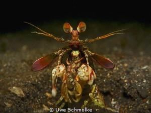 Colourful Mantis - Odontodactylus latirostris by Uwe Schmolke