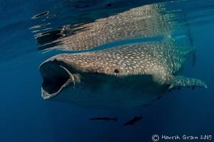 Whale Shark by Henrik Gram Rasmussen