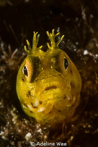 Roughhead blenny (Acanthemblemaria aspera) by Adeline Wee