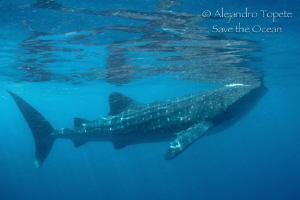 Whale Shark Reflex, Isla Contoy México by Alejandro Topete
