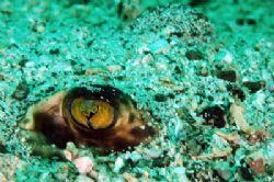 Flounder peeking from under the sandy rocks, taken with a... by Martin Van Gestel