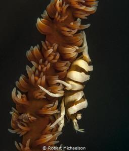 Zanzibar shrimp, Nikon D90, dual strobes, 85 mm with +5 d... by Robert Michaelson