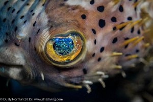 """""""Into the Stars"""" One of the prettiest eyed fish around. by Dusty Norman"""