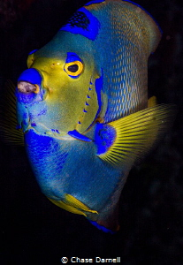 """""""The Queen"""" The colors of the Queen Angel Fish are so vi... by Chase Darnell"""