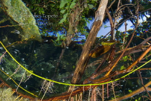 Plants and mangrove, Jade River Playa del carmen by Alejandro Topete