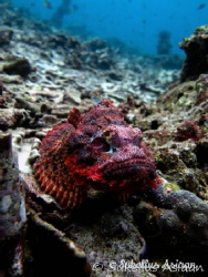 Scorpion fish in Bohol by Niko Torvinen