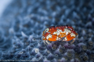 """""""Out in the Open"""" A Gaudy Clown Crab poses out in the op... by Dusty Norman"""