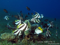 Fish frenzy of damselfish, butterflyfish and bannerfish by Laura Dinraths