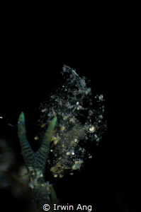 T R A N S P A R E N T Hairy shrimp (White phycocaris sim... by Irwin Ang