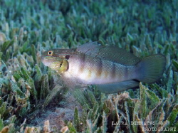 Tailspot goby sifting sand through gillrakers to feed by Laura Dinraths