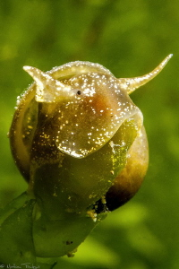 freshwater snail by Mathieu Foulquié