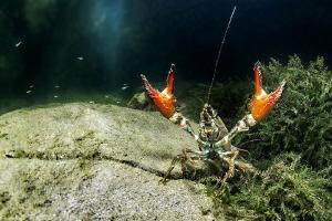 crayfish (Hérault, France) by Mathieu Foulquié