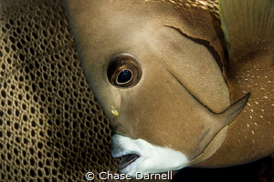 """""""Face to Back""""  A French Angel Fish portrait with a Fren... by Chase Darnell"""