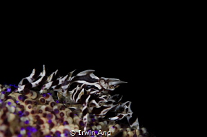 B L A C K - N I N J A Zebra crab (Zebrida) Anilao, Phil... by Irwin Ang