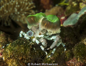 Could use some help with identification of this crab, tha... by Robert Michaelson