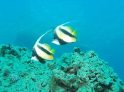 Red sea bannerfish taken at Sharksbay, Sharm el Sheikh wi... by Nikki Van Veelen