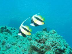 Red sea bannerfish taken at Sharksbay, Sharm el Sheikh wi... by Nikki Van Veelen