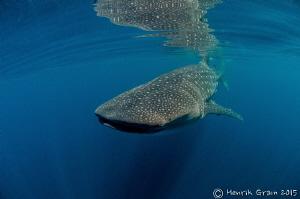 WhaleShark by Henrik Gram Rasmussen