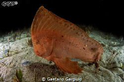 Red Indian fish surprised on the bare sand (night dive) by Gaetano Gargiulo