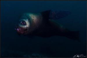 Australian Fur Seal by Kris O'keeffe