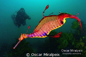 Weedy Sea Dragon by Oscar Miralpeix