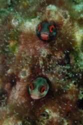 Two Blennies checking me out. It took me a while to take... by Martin Van Gestel