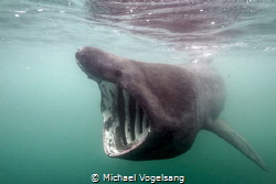 Basking Shark by Michael Vogelsang