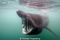 Basking Shark by Michael Vogelsang