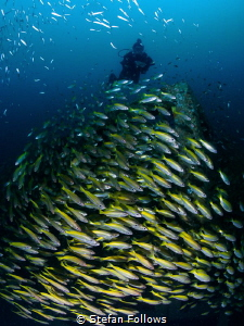 Tower of Power. Snapper - Lutjanus lutjanus. Sail Rock, T... by Stefan Follows