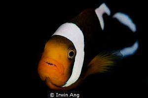 N E M O O O.. Clown fish (Amphiprioninae) Anilao, Phili... by Irwin Ang