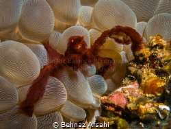 The funny looking Orangutan Crab! by Behnaz Afsahi