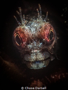 """""""Glowing"""" A close up of a Roughhead Blenny. by Chase Darnell"""