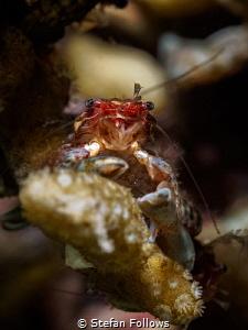 Crabbikins. Porcelain Crab - Porcellanidae sp. Mae Haad, ... by Stefan Follows
