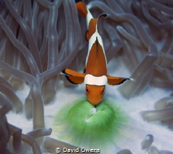 Clown fish by David Owens