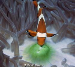 Clown fish by David Owens
