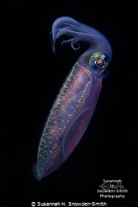 Caribbean Reef Squid This is the actual color!  The squi... by Susannah H. Snowden-Smith