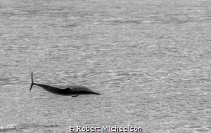 Spinner dolphin leaps in front of our dive boat by Robert Michaelson