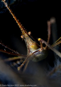 """""""The Arrow"""" A Red Lined Arrow Crab resting in a bunch of... by Dusty Norman"""