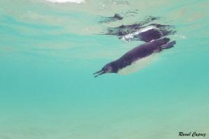 Galapagos penguin by Raoul Caprez