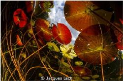 Nymphaeaceae by Jacques Lech