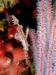 Ornate ghost pipefish with soft coral, quite a good disgu... by Rob Spray
