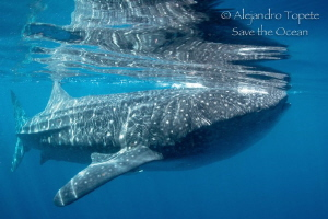 Great Whaleshark with reflex, Isla Contoy Mexico by Alejandro Topete